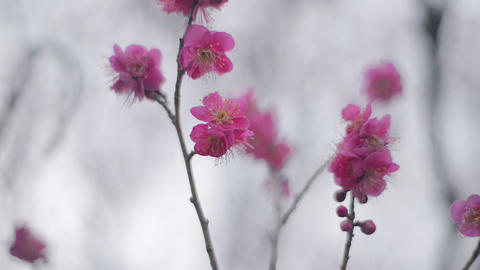 Flowers of Red Plum in Koganei park,Tokyo,Japan Stock Video Footage