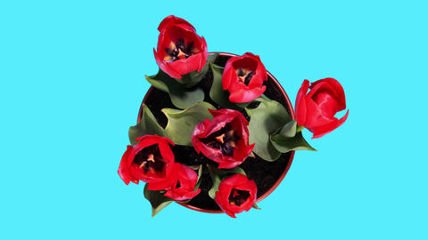 Blooming red tulips flower buds ALPHA matte, timelapse Footage