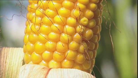 Macro of ripe corn on the cob Stock Video Footage