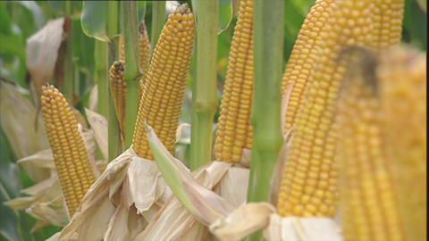 Ripe yellow corn cobs for harvesting Footage
