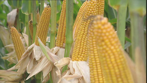 Ripe yellow corn cobs for harvesting Stock Video Footage