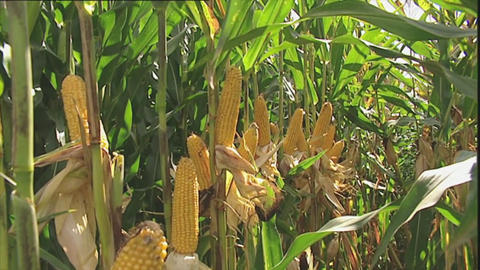 View of a corn crop ready for harve Stock Video Footage