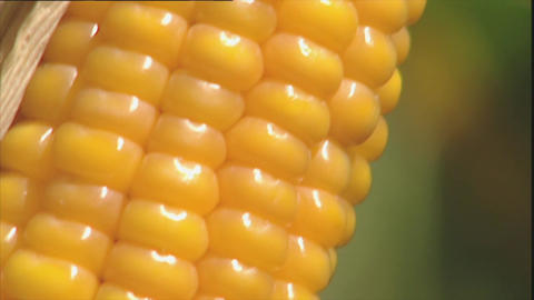 Macro of ripe corn on the cob Stock Video Footage