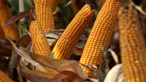 Maize crop ready for harvesting Stock Video Footage