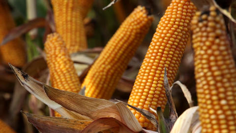 Maize crop ready for harvesting Footage