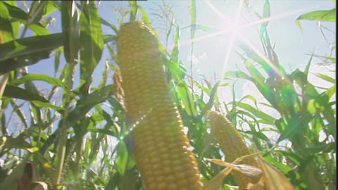 Maize crop with sun flare Footage