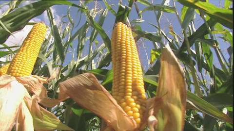 Maize crop with sun flare Stock Video Footage