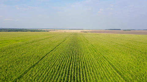 Cornfield on a summer day. Agricultural landscape VR 360° Video