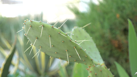 Exotic plants. Close-up of a prickly cactus. 4k Live Action