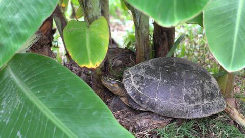 Tortoise rest near the banana tree Live Action