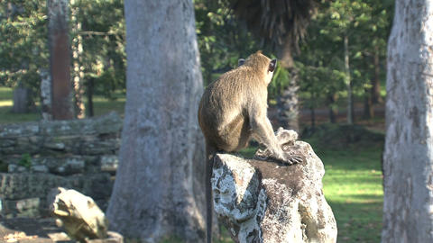 Monkey Ankor wat Stock Video Footage