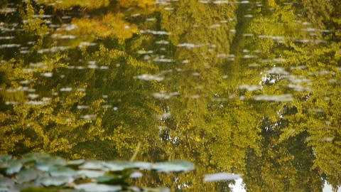 ginkgo forest reflection in water Footage