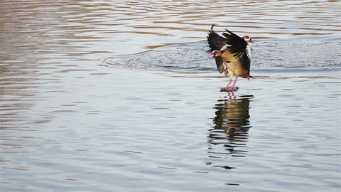 Egyptian goose glides across the water and lands safely... Stock Video Footage