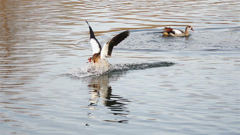Egyptian goose glides across the water and lands safely on the river Footage