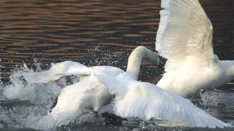 Male swan attackes female swan on the river Stock Video Footage
