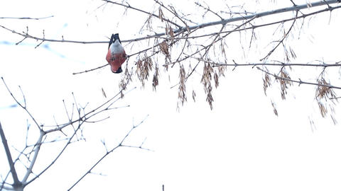 bullfinch Stock Video Footage