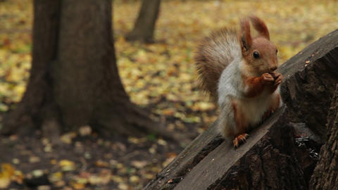 squirrel in park Stock Video Footage