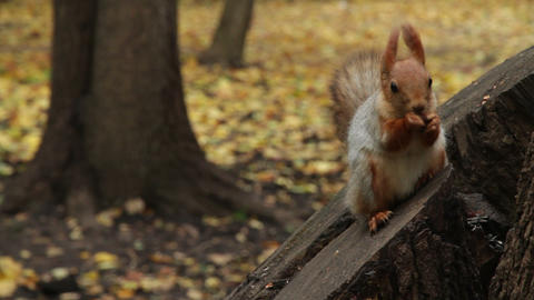 Squirrel In Park stock footage