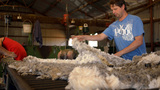 Rousabouts Throwing and Skirting Freshly Shorn Wool in a Shearing Shed Footage