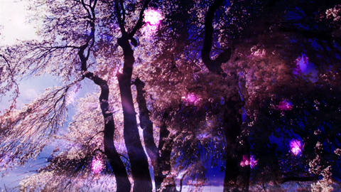 Cherry Blossoms 346 Stock Video Footage