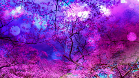 Cherry Blossoms 9884 Stock Video Footage