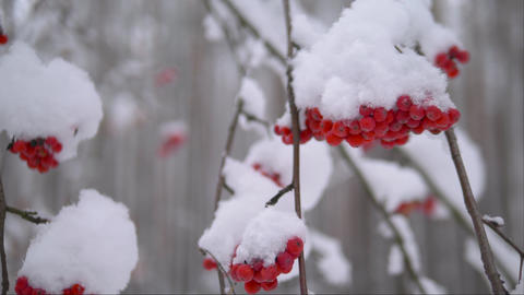 Red rowanberry under snow. Close up, 4K video Live Action