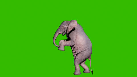 Large African elephant attacking the enemy in front of green screen. Animation for animals, nature Animation