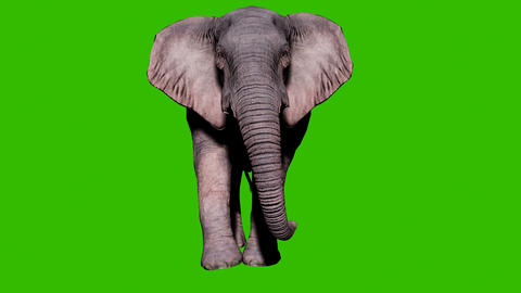 Large elephant walking on the ground in front of green screen. Seamless loop animation for animals, Animation