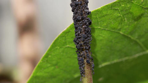 Time lapse of black bean aphids and black ants on the stem of a green bean plant Live Action