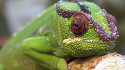 Chameleon reptile camouflage Live Action