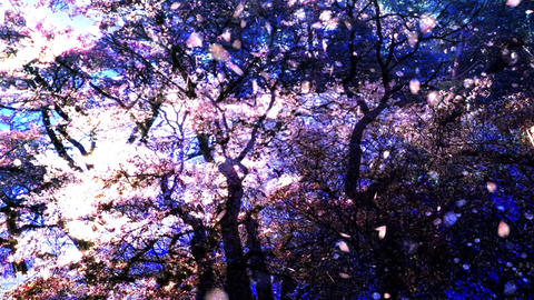 Cherry Blossoms 357 Stock Video Footage
