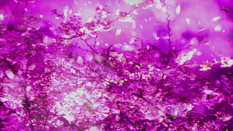 Cherry Blossoms 78634 Stock Video Footage