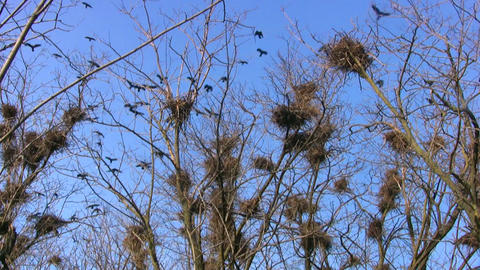Crows And Nests stock footage