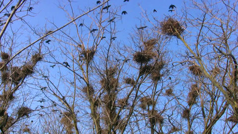 Crows and nests Stock Video Footage