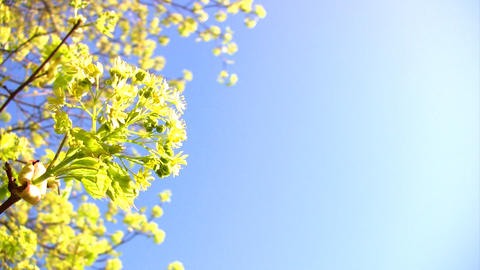 Flower maple Footage