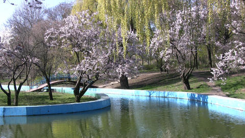 Spring in the park. Cherry blossoms and willow Stock Video Footage