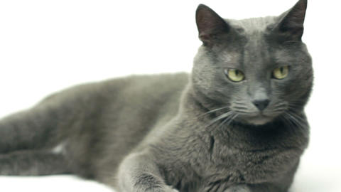 domestic cat playing over white background Stock Video Footage