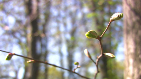 Buds. Young leaves Stock Video Footage