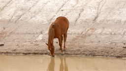 Horse Drinking Water from a Dam Stock Video Footage