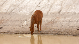 Horse Drinking Water from a Dam Footage