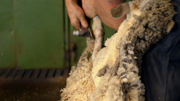 Close Up of Shearer Shearing a Sheep on an Australian Farm Stock Video Footage