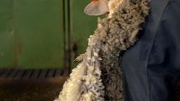 Close Up of Shearer Shearing a Sheep on an Australian Farm Footage