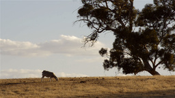 Sheep Grazing at the Top of a Hill Stock Video Footage