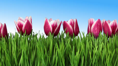 The grass and tulips Animation