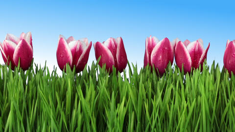 The grass and tulips Stock Video Footage