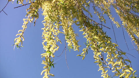 Willow branches springtime Stock Video Footage