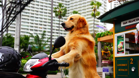 Dog on Scooter Stock Video Footage