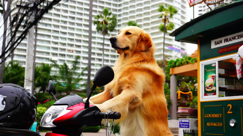 Dog On Scooter stock footage