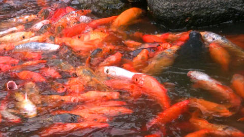 Hungry orange fish Stock Video Footage