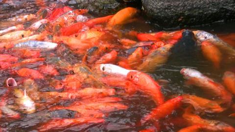 Hungry orange fish Stock Video Footage